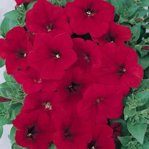 Ramblin Red trailing Petunia