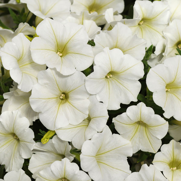 Shockwave Coconut petunia flowers