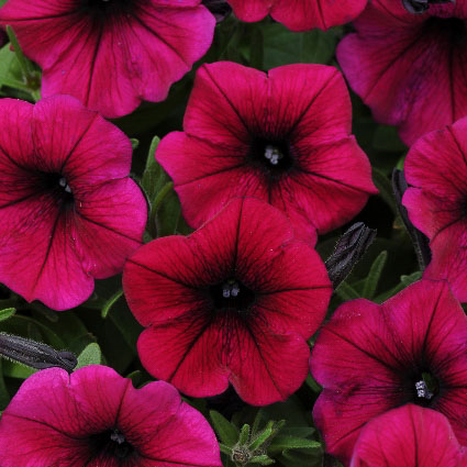 Shock Wave Deep Purple trailing petunia seeds