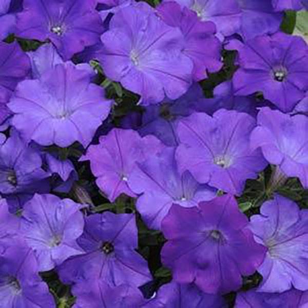 Shockwave Denim petunia flowers