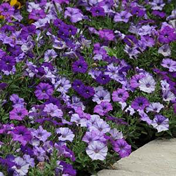 Shockwave Denim petunia flowers