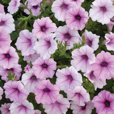Shockwave Pink Vein petunia flowers