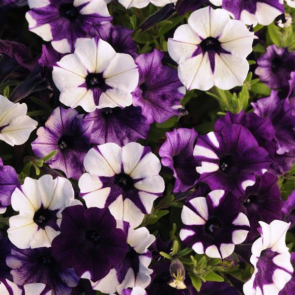 Shock Wave Purple Tie Dye trailing petunia seeds