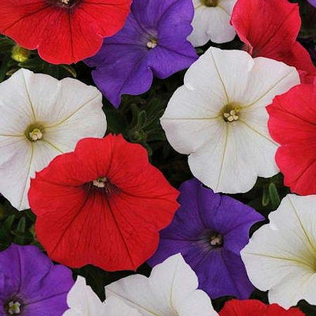 Shockwave Volt Mix trailing petunia seeds