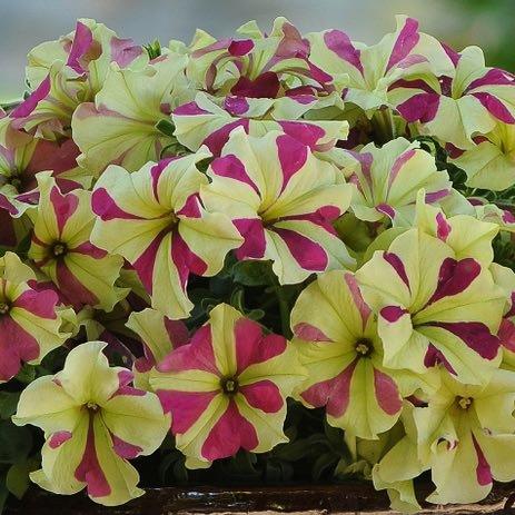 Sophistica Lime Bicolor petunia