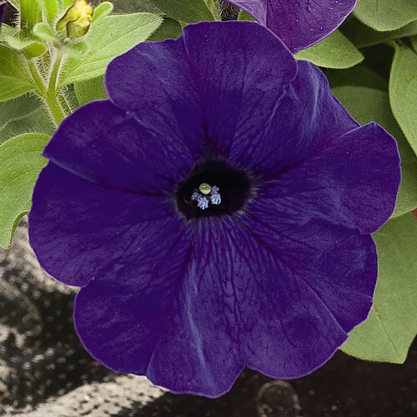 Success! Blue petunia flowers