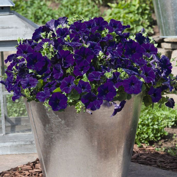 Petunia Success! Blue