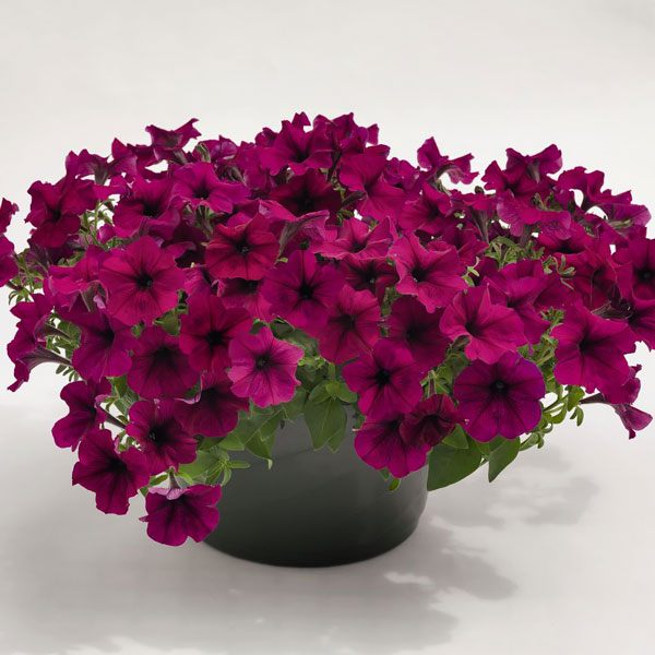 Petunia Success! Burgundy container