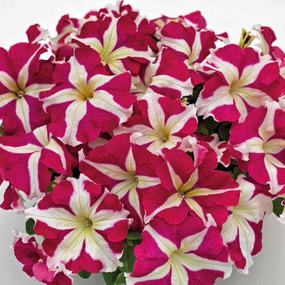 Success! HD Rose Star petunia