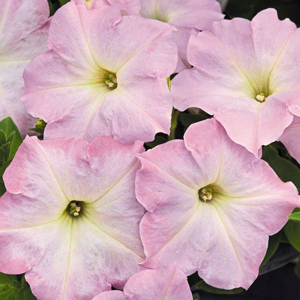 Petunia Success! Pink Chiffon