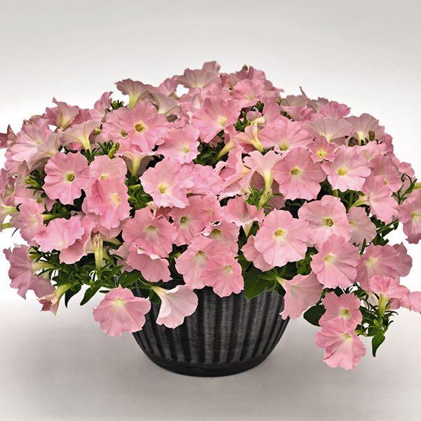 Success! Pink Chiffon petunia flowers