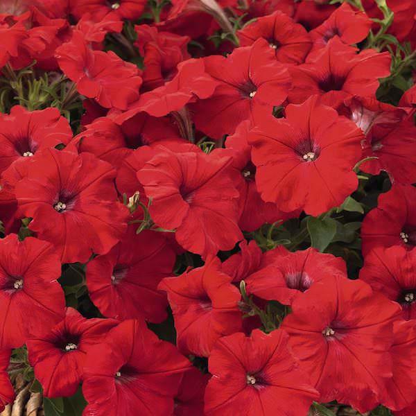 Petunia, Success Red annual flower garden seeds