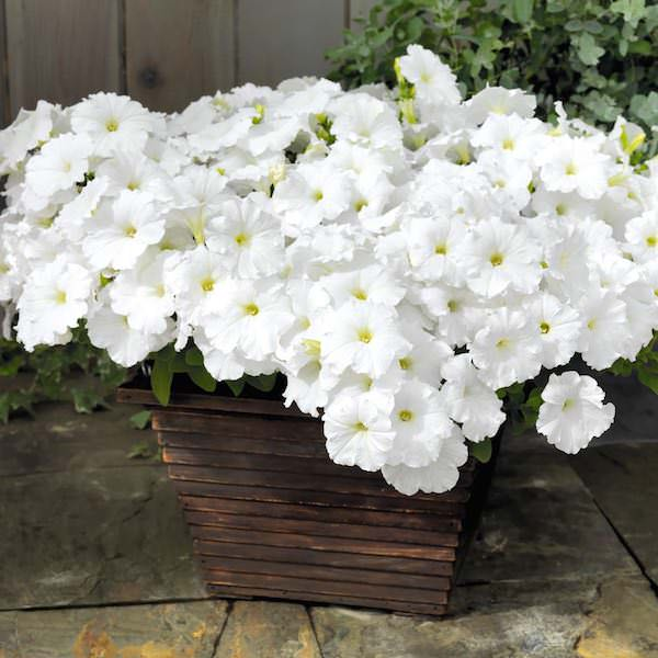 Success White Trailing Petunia Seeds Annual Flower Seeds
