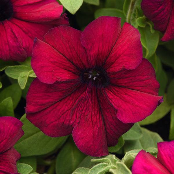 Supercascade Burgundy petunia seeds