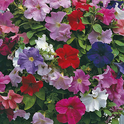Supercascade Mix petunia seeds