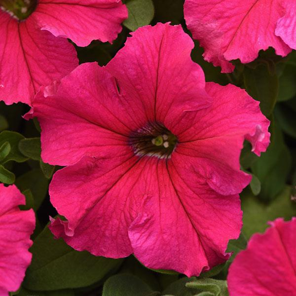 Supercascade Rose petunia seeds