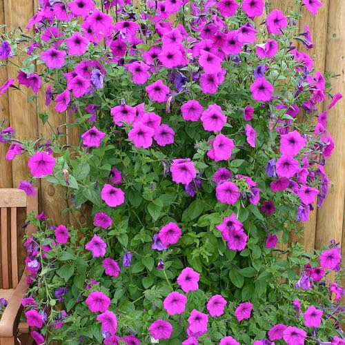 Tickled Pink petunia