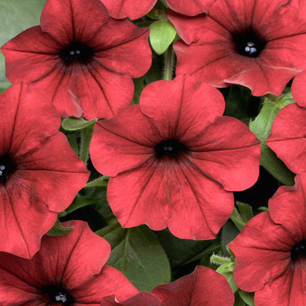 Tidal Wave Red Velour trailing petunia seeds