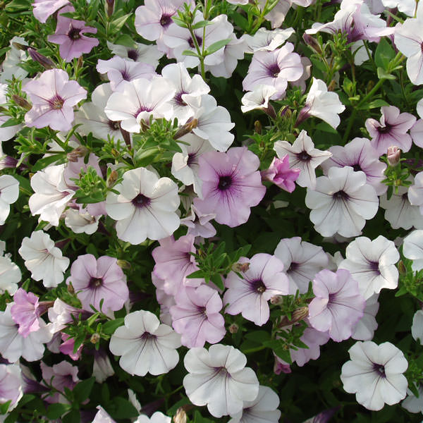 Tidal Wave Silver trailing petunia seeds