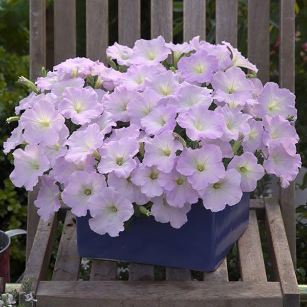 Trilogy Lavender Pink trailing petunia flowers