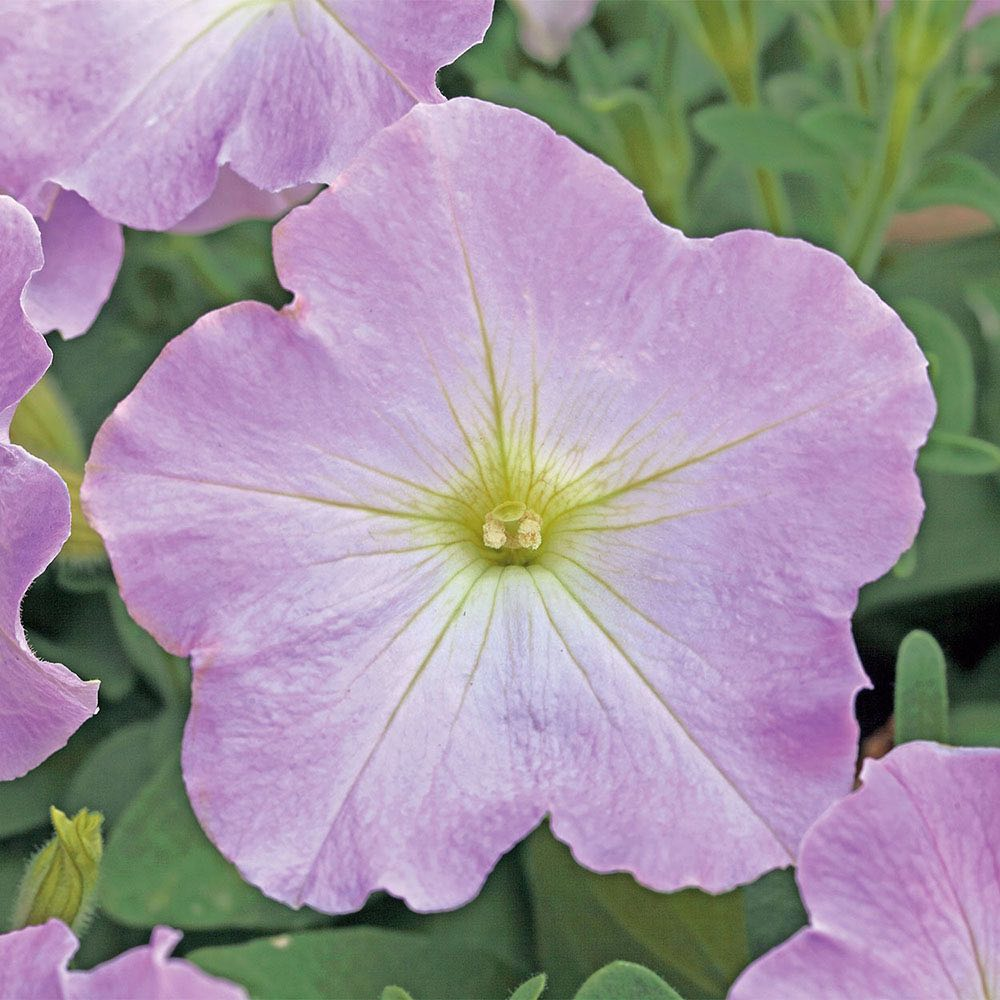 Trilogy Lavender Pink trailing petunia seeds