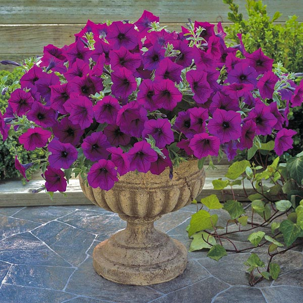 Trilogy Purple trailing petunia seeds