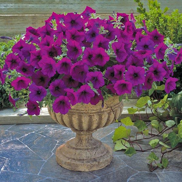 Trilogy Purple trailing petunia.