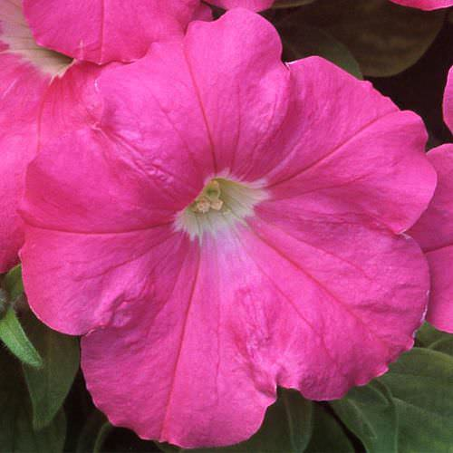 Trilogy Rose trailing petunia seeds