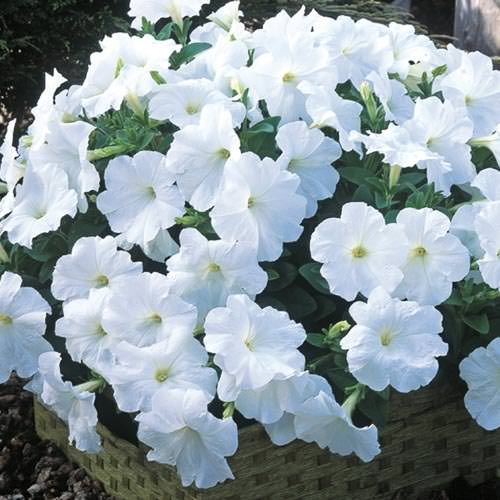 Trailing petunia seeds 52 trailing petunias annual flower seeds trilogy white trailing petunia seeds mightylinksfo