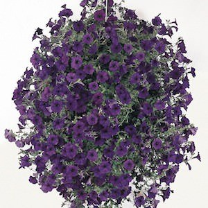 Wave Blue trailing petunia seeds