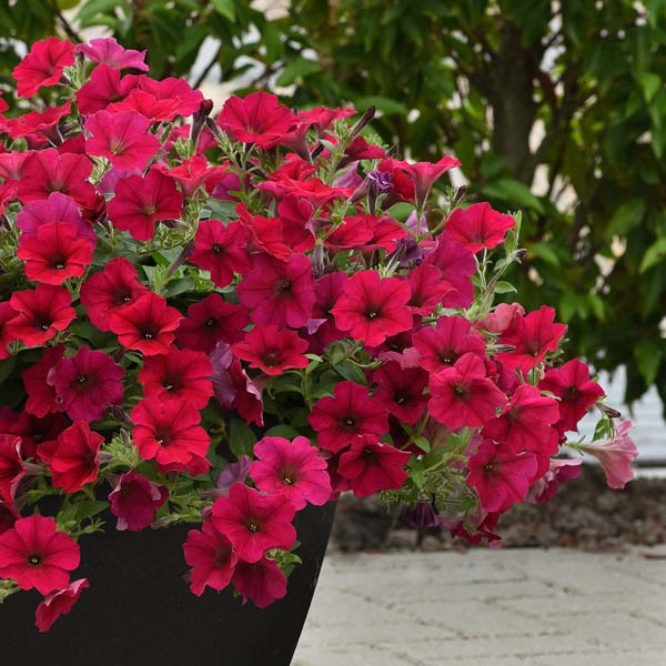 Wave Carmine Velour trailing petunia seeds