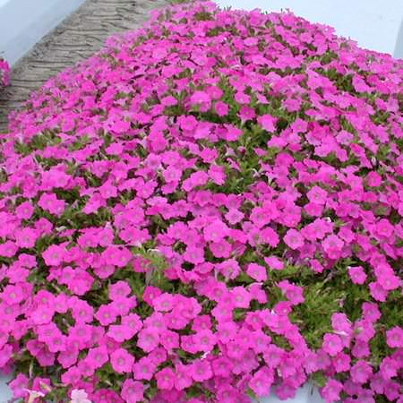 Petunia Wave Pink trailing petunia seeds