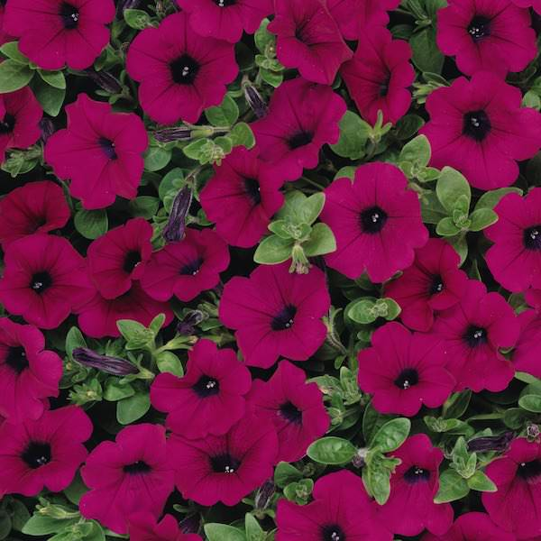 Wave Purple Improved trailing petunia seeds