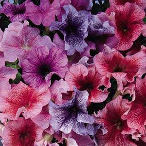 Petunia Daddy Mix seeds