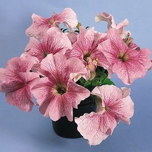Petunia Daddy Peppermint seeds