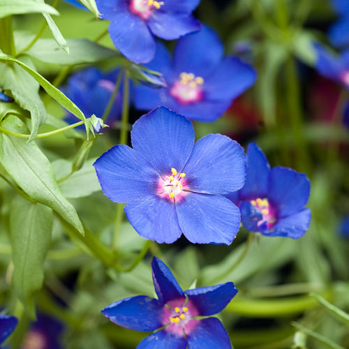 Blue pimpernel Blue Lights