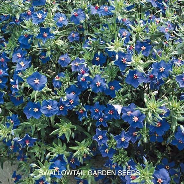 Blue Lights blue pimpernel seeds