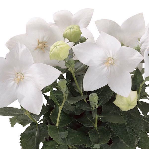 Balloon flower Astra White - Platycodon grandiflorus - Perennial Flower Seeds