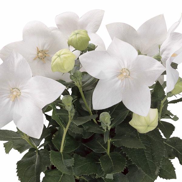 Balloon flower Astra White - Platycodon grandiflorus