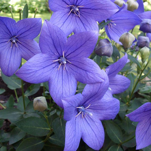 Balloon flower Fuji Blue - Platycodon grandiflorus
