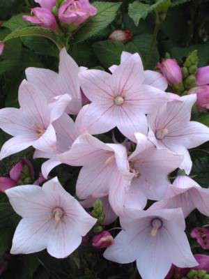 Balloon flower Fuji Pink - Platycodon grandiflorus - Perennial Flower Seeds