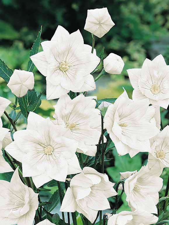 Balloon flower Hakone Double White - Platycodon grandiflorus - Perennial Flower Seeds
