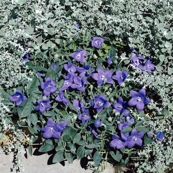 Balloon flower Astra Blue - Platycodon grandiflorus - Perennial Flower Seeds