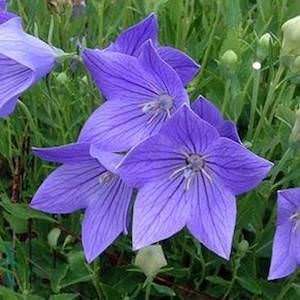 Balloon flower Fuji Blue - Platycodon grandiflorus - Perennial Flower Seeds