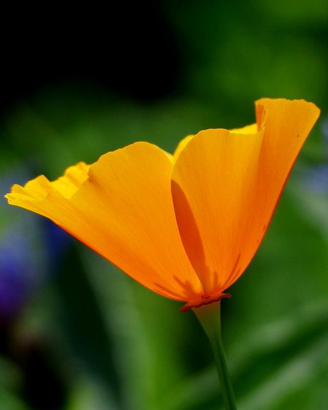California Poppy Golden - Annual Flower Seeds