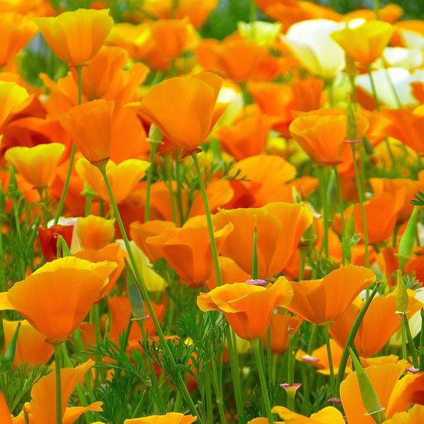 Poppy California Golden