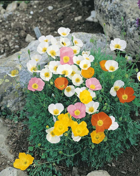 Alpine poppy seeds papaver alpinum perennial flower seeds poppy alpine mix perennial poppies mightylinksfo