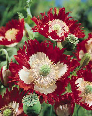 Breadseed Poppy Seeds Florists Poppies Annual Flower Seeds