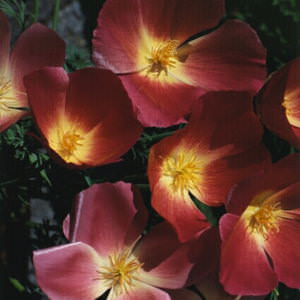 California Poppy Purple Gleam - Annual Flower Seeds