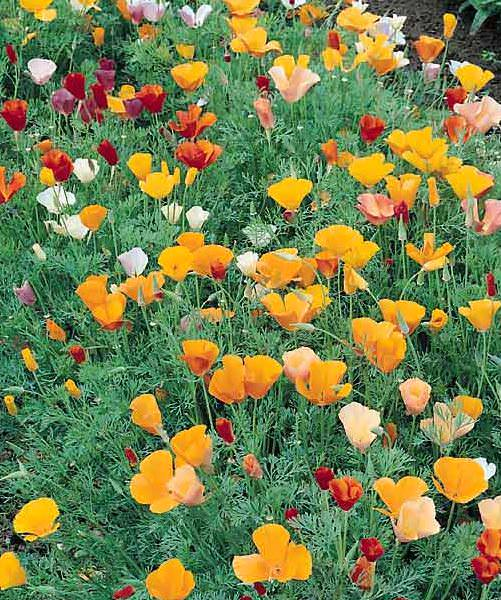 California Poppy Single Mix